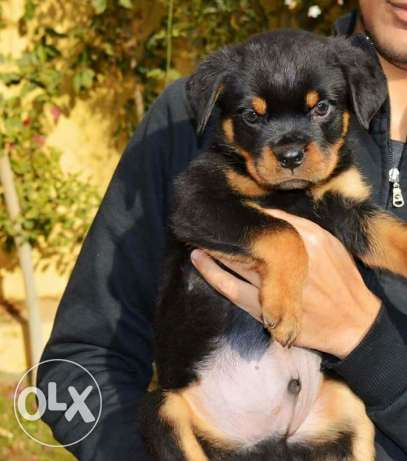 BEST imported rot puppies