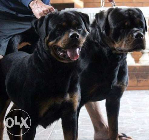 best rottweiler giant size puppys for only 500$