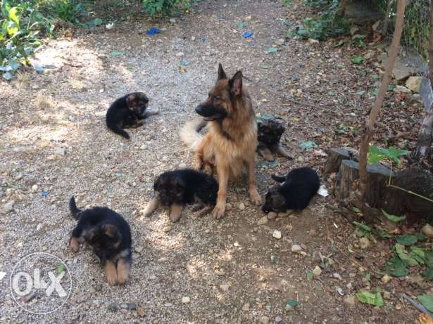 German Shepherd Puppies; عرمون -  5