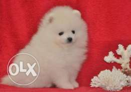 VIP snow white POMERANIAN male