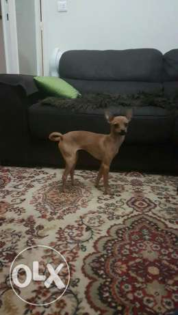 miniature pinscher dog female
