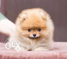 Champion Line POMERANIAN Male