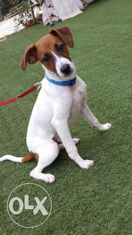 Pure jack russel 5 month male