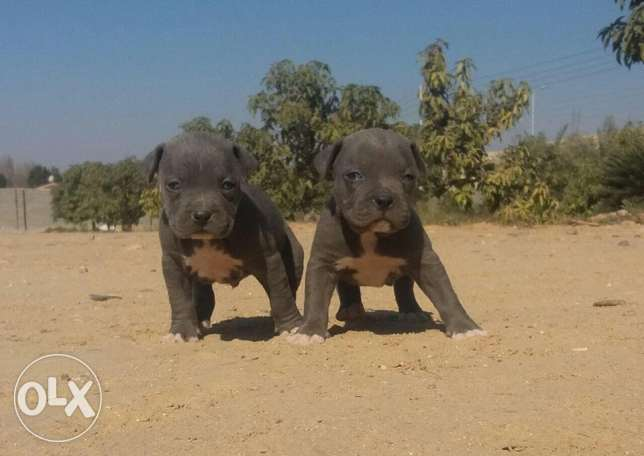 American Pitbull Blue imported for sale