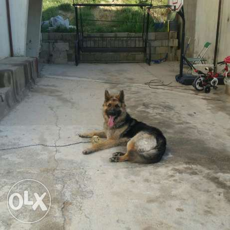 GSD 3 years old For Sale