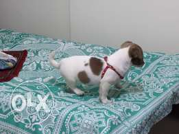 A jack russel dog For Sale