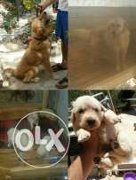 puppies golden retriever pure for sale