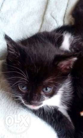 a black and white male cat for sale