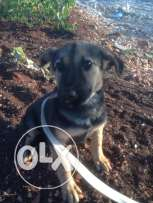 German shepherd 2 month old for 400$
