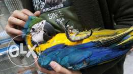 Blue and Gold Macaw Chick
