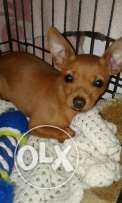 Chiwawa for sale