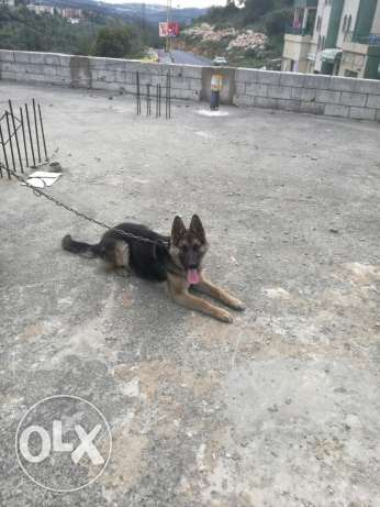 Vaccinated,male dog, 5 months Berje