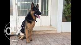 any german shepherd female for mating ?