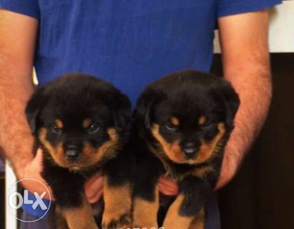 Imported rott puppies for sale