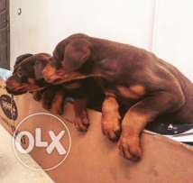 Pure Doberman KING SIZE cut tail