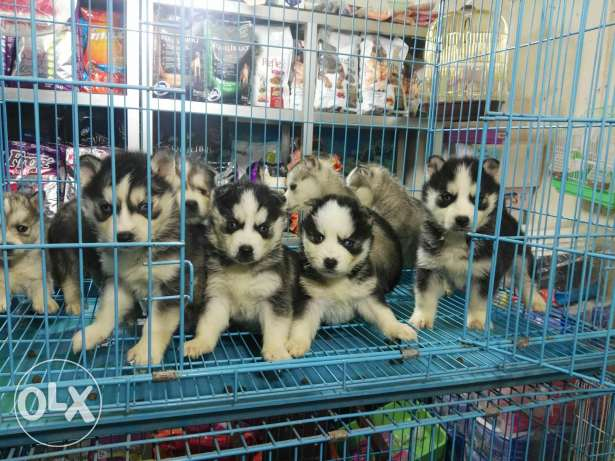 2 month old husky puppies