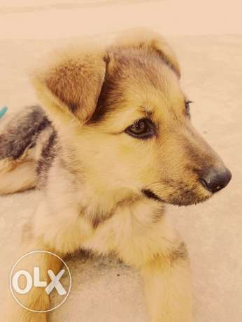 (Gerberian Shepscky) Name: Symba (sexe:Female) Date Of brith:1/12/2016