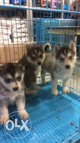 husky seibrien puppies blue eyes