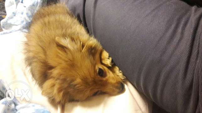 for sale Pomeranian +first vaccination