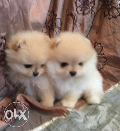 Puppies Pomeranian Teacup