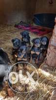 puppies doberman