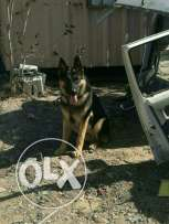 Great German Shepherd for sale