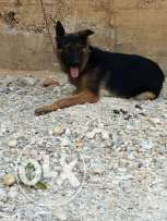 Female german shepherd