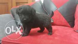 Black bichon puppy for sale