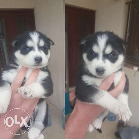 Husky pure breed for sale