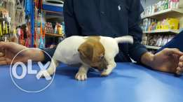 Jack Russell female puppy. Small size 2 months. Vaccinated