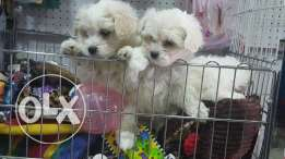 Fluffy and beautiful bichon puppies