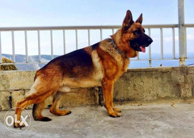 German shepherd (low price)