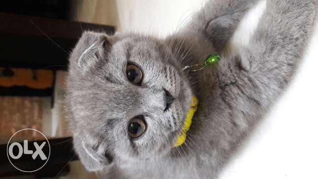 Scottish fold 2 months old vaccinated for sale