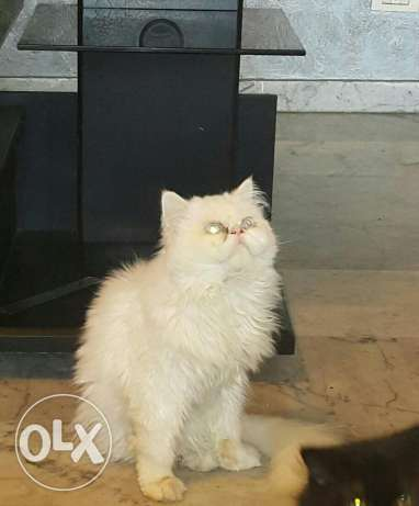 White pure breed persian for sale خلدة -  1