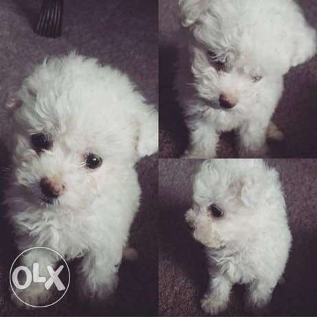 Teacup Bichon Frise Puppie small size dog Weight : 400g المرفأ -  2