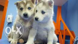 Vaccinated and dewormed husky puppies