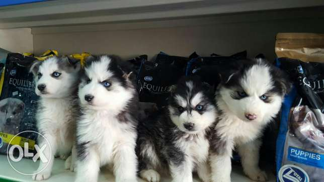 Puppies husky siberian