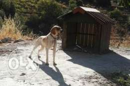 For sale female pointer 11 mo IPnths