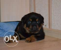 Imported Rottweiler puppies