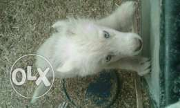 Pure white huscky for sale