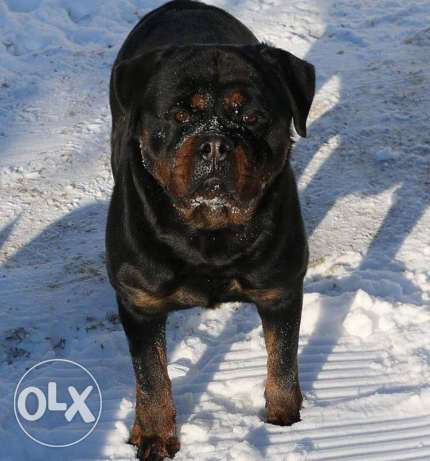 rottweiler best breed ever only for 500$