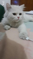 Female Chinchilla mix persian 3omra 1y 2month vaccinated manna mnawaze