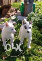 2 Siberian husky for sale for only 300$