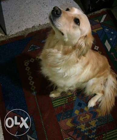 Golden retreiver to be adopted