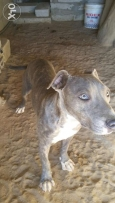 pitbull blue tigree
