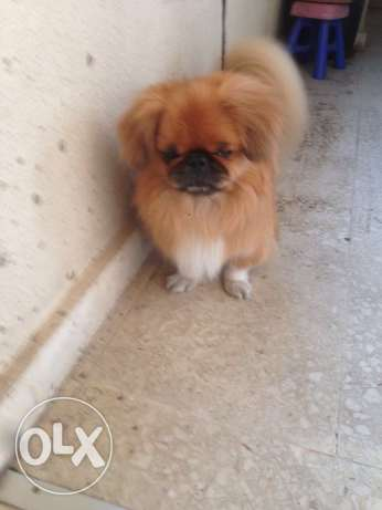 Pekingese male dog for mating