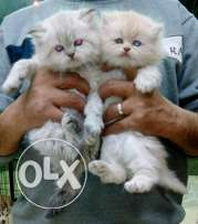 imported Himalayan kittens for sale