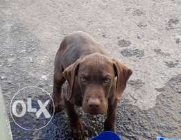 Pointer dog male 2 months