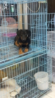 Doberman for sale