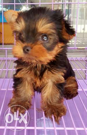 Male Teacup yorkshire for sale